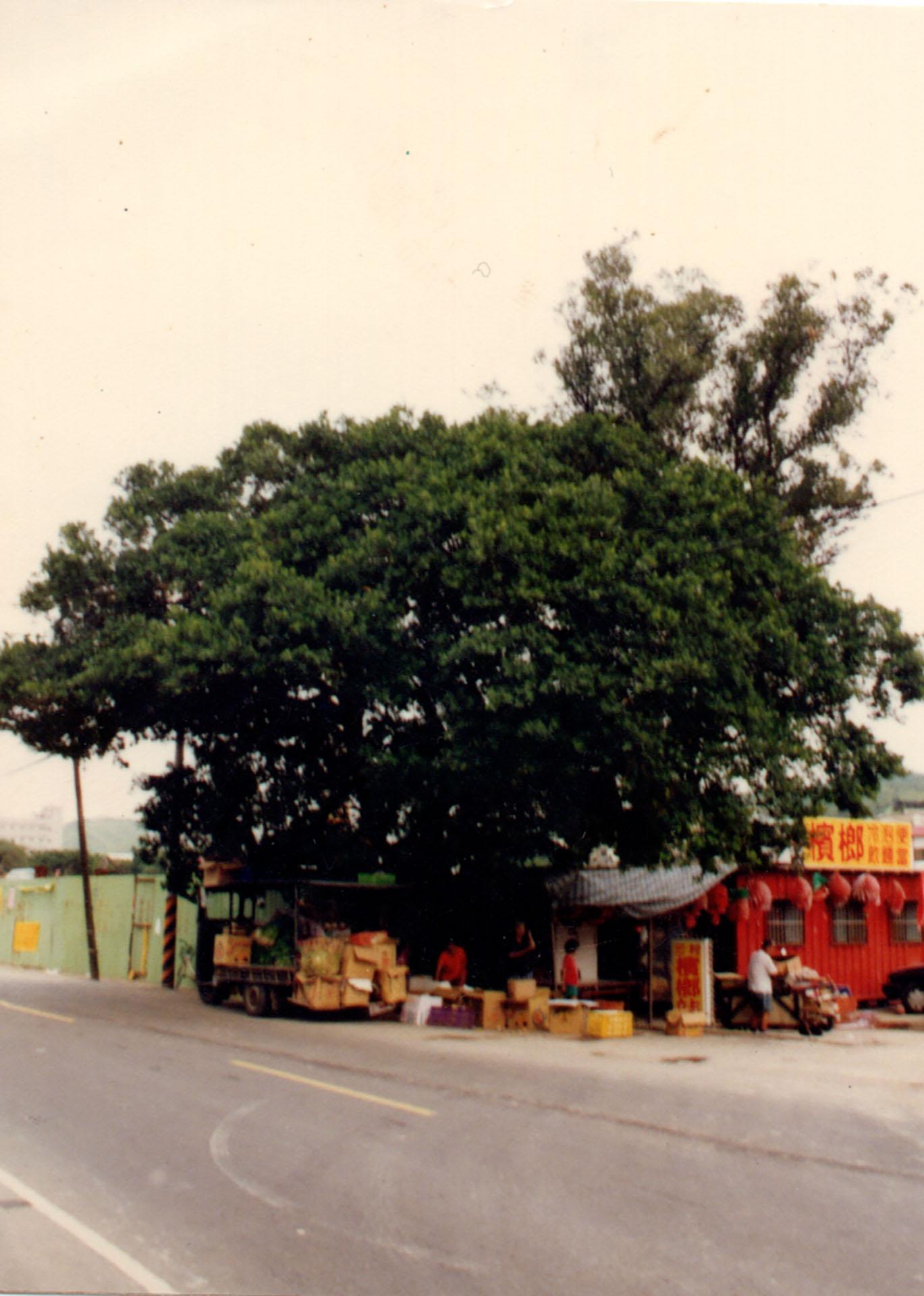 陸光三村老榕樹